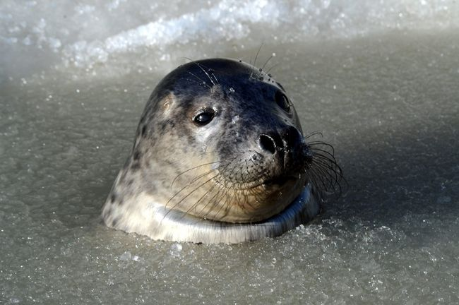 Toronto Sun - Culling seal to save cods is nonsense